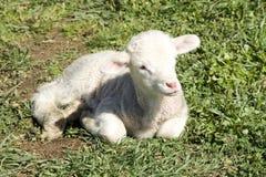 Giovane agnello merino Immagine Stock