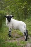 Giovane agnello in valletta Roy, Scozia Fotografie Stock Libere da Diritti