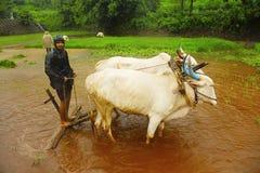 Giovane agricoltore che ara il campo di risaia con una coppia i buoi, vicino a Lavasa Immagine Stock