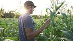 Giovane agricoltore che controlla progresso di crescita delle pannocchie di granturco sul campo dell'azienda agricola organica video d archivio