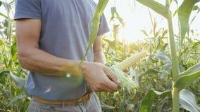 Giovane agricoltore che controlla progresso di crescita delle pannocchie di granturco sul campo dell'azienda agricola organica Fotografia Stock Libera da Diritti