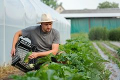 Giovane agricoltore che raccoglie gli zucchini fuori della serra Fotografia Stock Libera da Diritti