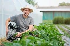 Giovane agricoltore che raccoglie gli zucchini fuori della serra Fotografie Stock Libere da Diritti