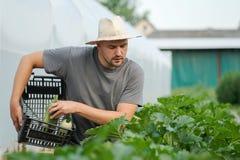 Giovane agricoltore che raccoglie gli zucchini fuori della serra Fotografia Stock