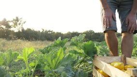 Giovane agricoltore che raccoglie una zucca del cespuglio in scatola di legno al campo dell'azienda agricola organica archivi video