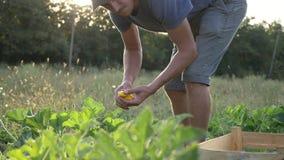 Giovane agricoltore che raccoglie una zucca del cespuglio in scatola di legno al campo dell'azienda agricola organica video d archivio