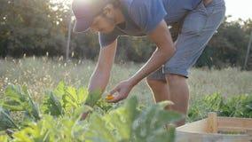 Giovane agricoltore che raccoglie una zucca del cespuglio in scatola di legno al campo dell'azienda agricola organica Immagini Stock
