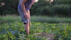 Giovane agricoltore maschio in cappello che raccoglie lo zucchino dello zucchini al campo dell'azienda agricola organica video d archivio