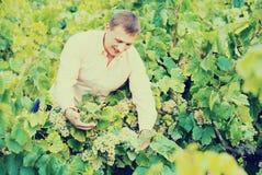 Giovane agricoltore maschio che controlla l'acino d'uva e le foglie Immagini Stock