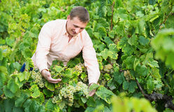 Giovane agricoltore maschio che controlla l'acino d'uva e le foglie Fotografie Stock