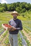 Giovane agricoltore nel giacimento della fragola che tiene una scatola di cartone w completo Immagini Stock