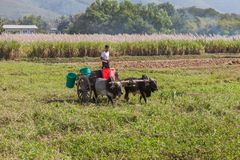 Giovane agricoltore nel lago Inle Fotografie Stock Libere da Diritti