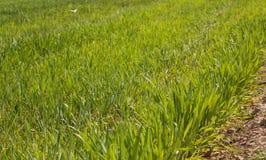 Giovane agricoltura del giacimento di grano del cereale verde Fotografia Stock