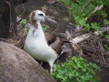 Giovane albatro alla riva del bagno della regina, Kauai, Hawai, U.S.A. fotografie stock libere da diritti