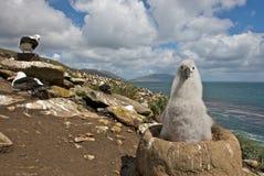 Giovane albatro che esamina la macchina fotografica Fotografia Stock