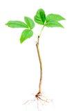 Giovane albero Fotografia Stock