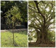 Giovane albero, albero adulto Immagine Stock