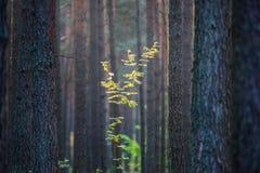 Giovane albero da solo circondato dai tronchi fotografie stock libere da diritti