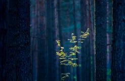 Giovane albero da solo circondato dai tronchi fotografia stock