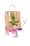 Giovane albero del Jasminum Fotografie Stock Libere da Diritti