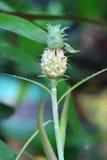 Giovane albero dell'ananas Fotografia Stock