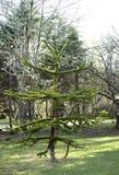 Giovane albero dell'araucaria Fotografia Stock