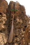 Giovane albero della bottiglia Fotografia Stock Libera da Diritti
