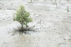 Giovane albero della mangrovia Immagini Stock Libere da Diritti