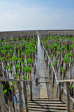 Giovane albero delle mangrovie Immagini Stock