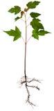 Giovane albero di acero Fotografia Stock