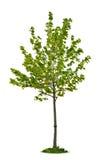 Giovane albero di acero isolato Fotografie Stock Libere da Diritti