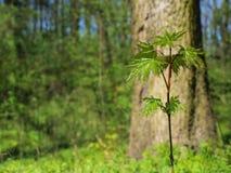 Giovane albero di acero nella foresta Immagini Stock