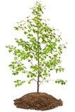Giovane albero di betulla immagini stock