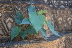 Giovane albero di bodhi sulla parete, Tailandia fotografie stock