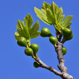 Giovane albero di fico Fotografia Stock Libera da Diritti