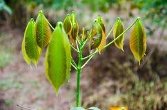 Giovane albero di gomma Immagini Stock