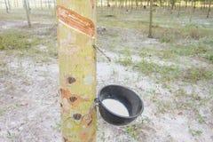 Giovane albero di gomma Fotografia Stock Libera da Diritti