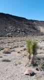 Giovane albero di Joshua fotografia stock