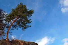 Giovane albero di pino Immagine Stock Libera da Diritti