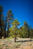Giovane albero di pino Immagini Stock