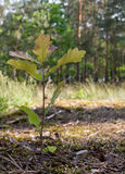 Giovane albero di quercia Immagini Stock