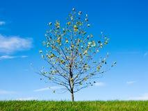 Giovane albero nella primavera Immagine Stock