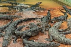 Giovane Aligators nell'azienda agricola dell'alligatore dei terreni paludosi florida Immagini Stock Libere da Diritti