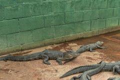 Giovane Aligators nell'azienda agricola dell'alligatore dei terreni paludosi florida Fotografia Stock Libera da Diritti