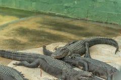 Giovane Aligators nell'azienda agricola dell'alligatore dei terreni paludosi florida Fotografie Stock