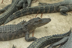 Giovane Aligators nell'azienda agricola dell'alligatore dei terreni paludosi florida Immagini Stock