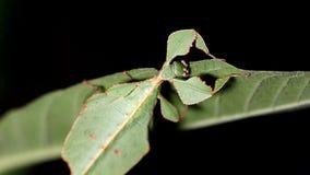 Giovane alimentazione femminile dell'insetto di foglia video d archivio