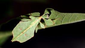 Giovane alimentazione femminile dell'insetto di foglia archivi video