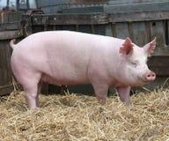 Giovane allevamento domestico della scrofa del maiale alla fattoria degli animali rurale Immagine Stock Libera da Diritti