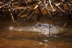 Giovane alligator mississippiensis americano che si apposta in un canale navigabile Fotografie Stock